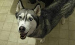 We have a 3 year old female husky that is looking for her forever home. She is extremily well behaved, LOVES to cuddle/spoon in bed, LOVES to run and go for walks. She is perfect for people with tons of energy!! She is great with cats, but would do best