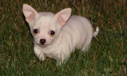 This little girl was a single and she was born on August 15. She was vet checked, vaccinated and dewormed on Oct. 11. She is mostly white with a bit of tan on her ear tips. She is a cross between short and long haired chihuahuas. Her mother is long