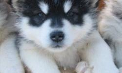 ARCTICICE ALASKAN MALAMUTES are Big ADORABLE cuddly teddy bears .  With sweet temperments, these loving fur balls will  make wonderful additions to qualifing outdoorsy families.  New photos at 6 weeks.   Our CKC Champion Gryphon ( who attained the rank of