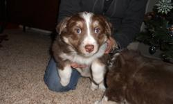 6 Purebred Aussie pups. All female, 3 red tri & 3 black tri. Farm raised pups. Working bloodlines. Located in Innisfail, AB. To go to good homes only! Perfect Christmas present as they will be ready to go by christmas