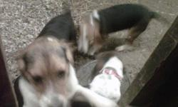 PUREBRED BEAGLE PUPPIES FOR SALE!!   5 MONTHS OLD   2 - MALE 1 - FEMALE   FIRST SHOTS & DEWORMED   Contact Ron @ 519-652-6691