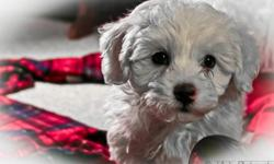 Buttercup Bichons is the place to find a healthy and happy puppy!  Our Bichon puppies are family raised and are incredibly good with kids!  Our dogs are hypoallergenic and non-shedding,they are paper trained and they are not yappy.  Bichons are often