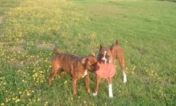 I have 2 purebred boxer puppies for sale (Female). The Dam, Daisy Mae is a 4 year old purebred C.K.C. Registered female. The Sire, Luke is a 5 year old purebred C.K.C. Registered Male, who also has his Championship in Show. Puppies are 9 weeks. Their