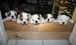 Purebred English Bulldogs for Sale! Only one puppy REMAINING!!! We are a registered CKC breeder and do this as a family venture. We have a beautiful female English Bulldog that has just given birth to 5 beautiful puppies. They will be able to leave the