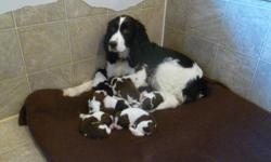 PUREBRED ENGLISH SPRINGER SPANIEL PUPPIES...We have one 20 week old PB English Springer Spaniel puppy, black and white boy remaining out of a litter of ten puppies.  We keep all of our puppies until they are 10 weeks old, so they are now ready to leave