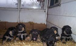 Sire and Dam on site. Pups are dewormed, vet checked and ready to go. $350.00 each. They are eating and drinking just fine, well socialized. Black/ tan, dark like the sire.  A happy, healthy bunch. Will mature over 100 pounds. If you are a nuturing type