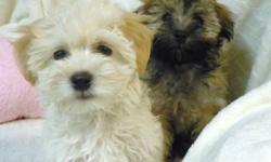 Beautiful Havanese girls are looking for a loving forever home - with gentle temperaments they make wonderful, very affectionate family pets.  CKC registered, micro-chipped, hypo-allergenic, non-shedding, dewormed, health guaranteed and vet inspected with
