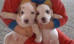 2 MALE PUPPIES LEFT TAILS DOCKED FIRST SHOTS AND DEWORMING CALL 778 982 3343