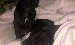 9 pure bred Japanese Tosa puppies for sale to good homes, available December 20th 2011. Japanese Tosa's make wonderful, loyal and protective family pets. We have 6 black and 3 brindle puppies available, all with beautiful markings. We have 8 female