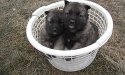 Just in time for Christmas! Adorable purebred Norwegian elkhound puppies for sale. This breed likes cold weather. Grow to be knee-height. Ears stand up,tail curls over back.Very gentle with children. First shots given. Phone calls preferred. (204)331-4848