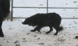 5 Registered Purebred Border Collie pups for sale (2 males, 3 females). Also, 1 registered male, born March 10, 2010 (from the last litter). From working parents.  Sire from same bloodlines as Moss. He is very calm, but strong and works cattle very