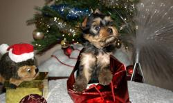 CKC registered Yorkie (Yorkshire terrier) puppies. 1st Boy-Biker was born on the 19th of October, Ready to go now. His attitude is the best what you can find in dogs. Very obedient and sweet. Growing really good, strong and healthy boy 2nd Boy is 3 month
