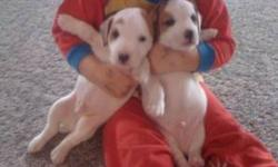 Adorable Jack Russell Terrier pure breds. Ready to go to homes Dec.15. 1st shots and tails docked. Easy to view and I own Mom & Dad. Only 2 puppies left.
