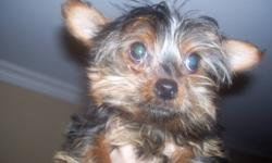 for sale by owner 1 female purebred tea-cup yorkie,grows to between 3 and 3 1/2 lbs,,,all shots are up to date.