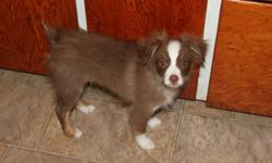 """3 male toy australian shepherd puppies remaining.  The toy australian shepherd has the heart and spirit of the standard aussie but just comes in a smaller package!  Both parents are 13"""" tall, approx 15 lbs and are on site.   Shown in order of photo Male"""