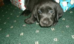 Purebred Yellow & Black Puppies For Sale   Beautiful Lab Puppies, ready to go as soon as the hustle and bustle of Christmas is over! First shots and deworming included. Puppies are eating dry puppy food, drinking water and are currentky being potty