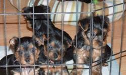 Beautiful, purebred Yorkshire Terrier male and female puppies with very lovely dispositions. Puppies are very healthy and are vet checked and have their first shots and dewormed and come with a one year genetic health guarantee. Ready to go to loving