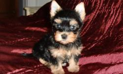 Hi,   I currently have 5 Yorkshire Terrier Puppies who will be ready to join their new families by the end of November. There are 3 girls and 2 boys who will weigh between 4 and 6 lbs. full grown. All are elidgable to  be registered with the C.K.C. My