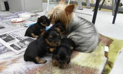 1 male Purebred Yorkie looking for their forever home , I am 18 weeks old and darn cute. My mom is 7lbs AKC registered and dad is 4lbs CKC registered,I am developing my personality and tail  docked, dew claws and second shots and dewormed, complete with