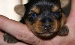 Taking deposits now for our Purebred Yorkshire Terrier's. We have 2, different Litter's to pick from. Both Sired by our little man, Peanut who is 3lbs..... All puppies will be de- wormed,1st shots, & health records. Also have tails & dew claws done. Also