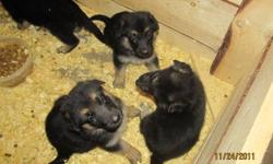 We have beautiful pups available to special homes. Both parents are our family pet and both are on site. The parents both have a very gentle and kind  disposition.(No Papers)Our female is in the  pictures inside, and our male is outside. The pups will be