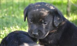 ~Lovely English Labrador Retriever puppies offered for your consideration. ~ Bred for type,temperament, and trainability. ~ Home of many Specialty Show winners, Obedience Trial winners, guide dogs for the blind and arson detection dogs, excellent gundogs