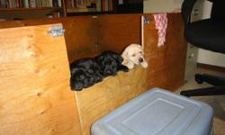 CKC registered Labrador Retriever pups from parents with proven working ability. Sire is 2xNMH GMH OTCH Prairiestorm Hawk WCS. Dam is OTCH High Voltage Dawnlit Fen WCX MH QAA. Both parents are superb working dogs, with desire to please, good focus, strong