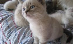 I have 1 Ragdoll kitten for sale. He comes with all of his vaccinations and deworming done as well as identification tattooed. He also comes with a kitten starter kit with just about everything you will need to get started out with your new kitty. Luther
