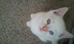 Kittens are out of a lynx point Siamese female and by a lynx point Ragdoll male, all are medium hair and very soft. There are 2 boys (flame point and cream point) and 2 girls (lynx point and tortie point with an orange nose!). They have all had their