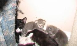 hi i Have 9 wonderful ragdoll x kittens available for adoption they will be litterbox trained and eating solid food  when they are ready for their new homes all are medium-long haired and have very soft furr will be well-socialized and loving they all