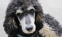 PHANCEY & PHONSEY'S BABIES DUE JAN, 2012   Phancey is expecting 9 or more beautiful, very rare PHANTOM  STANDARD POODLE  PUPS.    Momma and Daddy are truly wonderful dogs - here to greet and love all visitors. They are fully registered CKC, AKC & UKC.