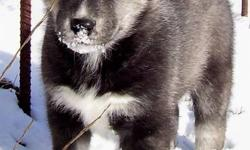 Pups come Vet health Certified Needled and de-wormed. Both parents are on site and are loving farm raised family pets. The mother had 5 big healthy pups .We have only 1 male available who is classed as an Agouti Husky. He has one blue eye and is very