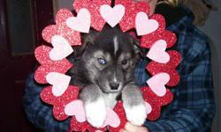 . Needled de-wormed Vet Health Certified. Both parents are on site and are loving farm rasied family pets . We have a rare black muzzled male , he looks more wolf than husky he will be a awesome looking dog , his coat is changing to a silver tipped with a