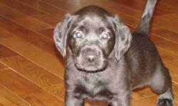 8 Black Lab Puppies born October 28th, 2011.   Only 1 female left! Ready to go to a good home the week of Christmas. She is very well socialized with other dogs and children, and we have started paper training.  Her mother  is a black lab and father is a