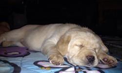 Labs ready to go to forever homes on December, please contact for more info. This ad was posted with the Kijiji Classifieds app.