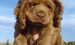 This little cutie is a male cocker spaniel puppy. He is the last one left from his litter, and is looking for someone to love him. He has had his tail docked, dew claws removed, first shots and been de-wormed. He loves kids and would make a great family