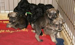 HYPOALLERGENIC, NON-SHEDDING, loving, playful mini schnauzer pups! Have had their tails docked,dew claws removed, first set of shots, and 2 sets of deworming done. Living in our family room, we have 2 kids so the puppies are well socialized and used to