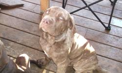 Reduced to $600 - Beautiful Neapolitan Mastiff Puppies for sale, purebreds, non registered, full breeding rights. There is 1 mahogany brindle female, 1 tawny/brown female, 1 mahogany male, 1 tawny/brown male and 1 tawny brindle male. They have their