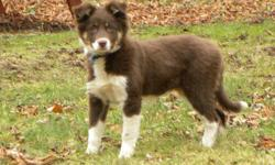 This is a real nice pup with lots of drive. Would make an excellent sport or herding dog. Already showing interest in working. Phone 902 825 4596