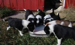 6 ADORABLE Border Collie, Red Heeler Cross puppies!!  We have 1 female and 3 males.  Both parents are working cattle dogs (they are very loyal and protective dogs).    We would like these puppies to go to a farm or acreage preferably.  If interested