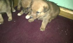 Red heeler cross pups for sale.5 weeks old by Christmas,Very cute,asking $75.00 ea. No reasonable offer refused Call 519-580-7435