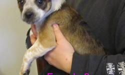 this little girl is a timmid puppy and would be perfect for an inside puppy. once she gains your trust you will just want to please you. she isnt a hyper puppy at all. we only have 2 left both parents are great with strangers and other animals.   I CAN