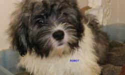 Shih tzu x Ihasa Apso puppies  3 months old, have been dewormed and had first shots,  average size as adults will be 9 to 12lbs.   Basically non shedding.   Can deliver to Winnipeg or Brandon at no cost.   Please phone our cell for more details 204 447