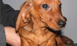 CKC Reg Mini Smooth Dachshund pups Champion bloodlines. Breeder for over 30 years Vaccinated , Dewormed and Tattooed Pups are 3 and 4 months old Males $700 and Females $800  Pet price 2 Year Health Guarantee Great Family Pet Low Shed breed. 306-869-2559