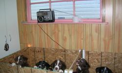 Litter of 7     2 still available     1 female     1 male       Registered Australian Shepherd Border Collie mix puppies. born September 15, 2011.    brn/wh,    blk/wh,tan, wonderful  personalities great family dog.   Mother is registered NKC Great