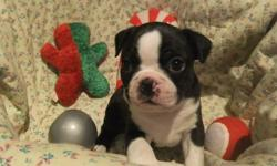 2 Beautiful Registered Boston Terrier Puppy available Dec 18. 4 Girls born to this litter one is going to a home who has one of our puppies from 2 years ago and one or two will be staying with us until they are at least 6 months old to see how they