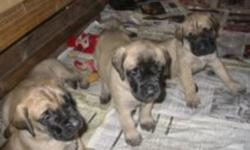 Purebred registered English Mastiff pups born Nov 1st, 2011. They will be ready to go to their new homes by December 27th. $2,000 REDUCED to 1800. non breeding. $2500 breeding. I've been breeding for 7 years and have plenty of happy clients that are