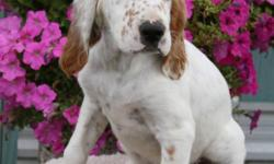I have 2 female and Registered English Setter puppies left for sale. They make great pets with a great temperament and great with children and wonderful hunting dogs. They will come with Papers, 1st needles, tattoos and de-worming and du-clawed. Asking