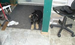 CKC registered German Shepherd puppies from working line.3  males, 2  females left.  (No slanted hips) They will come with vet check, 1st and 2 nd   vaccinations, and 1st and 2nd  deworing, they are  microchipped, grand sire is Sunshadows Tell a Police