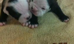 I have a beautiful litter of reg oldes they will have first set of shots deworming and a vet check done they will be registered with the IOEBA both mom and dad can be Viewed here both are great family dogs and wonderful with children , other dogs and cats